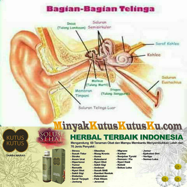 Minyak Kutus Kutus Untuk Mengatasi Sakit Telinga